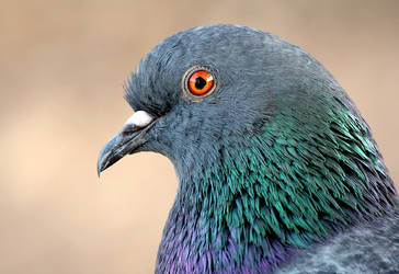 Pigeon Portrait by sapog