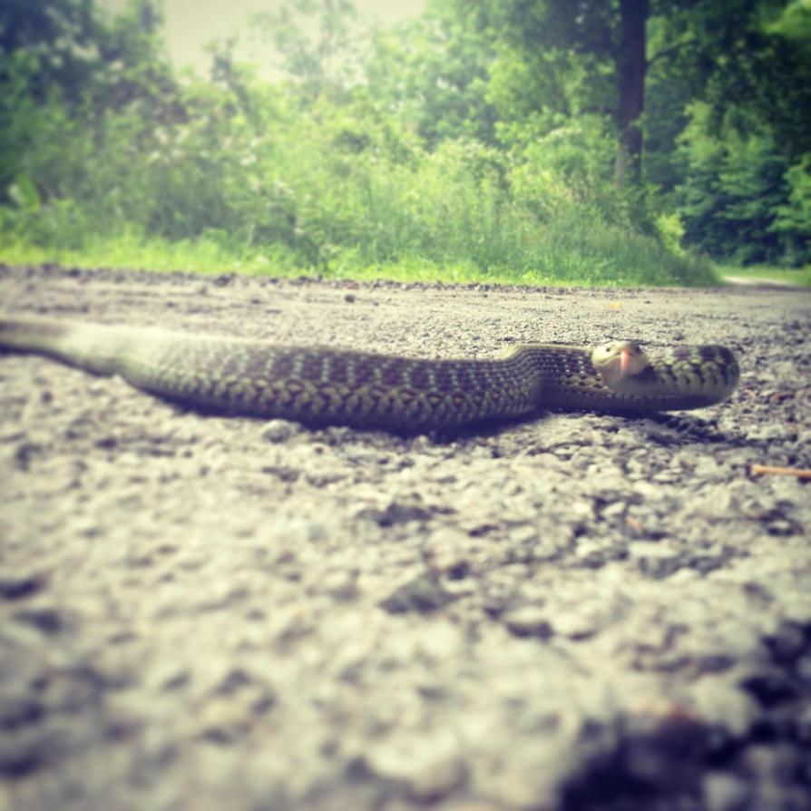 West Virginia Garter Snake  by onemeanjean