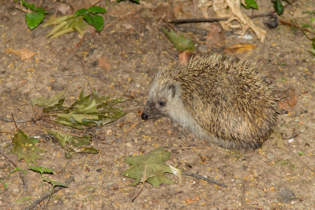 Hedgehog by Anonimus79