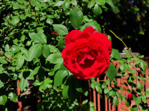 Rose is Red