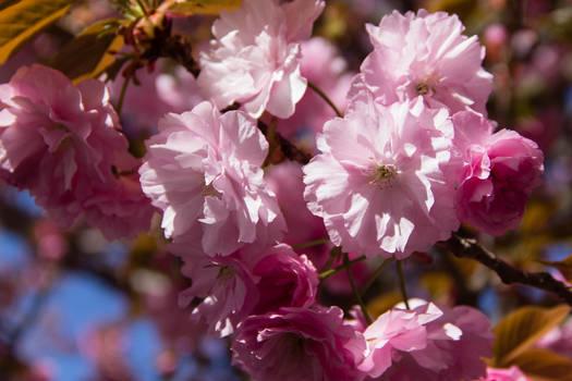 Sakura Closeup