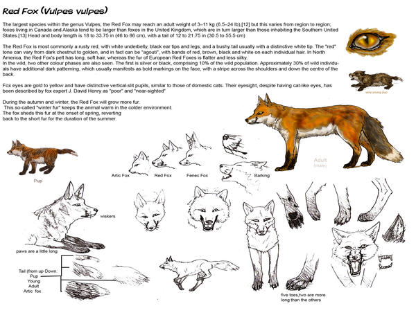 Anatomy of a fox