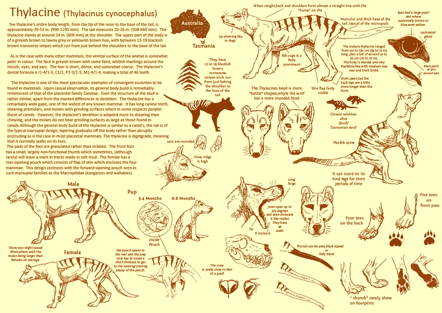 The Thylacine by Mikan-no-Tora on DeviantArt