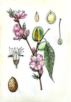 Botanical illustration, almond