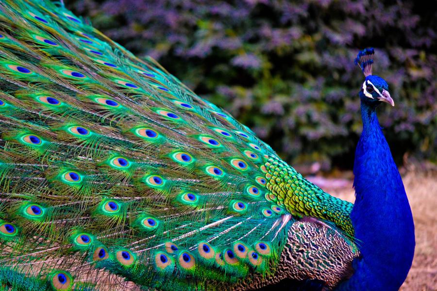 Peacock by Bleeding--Roses