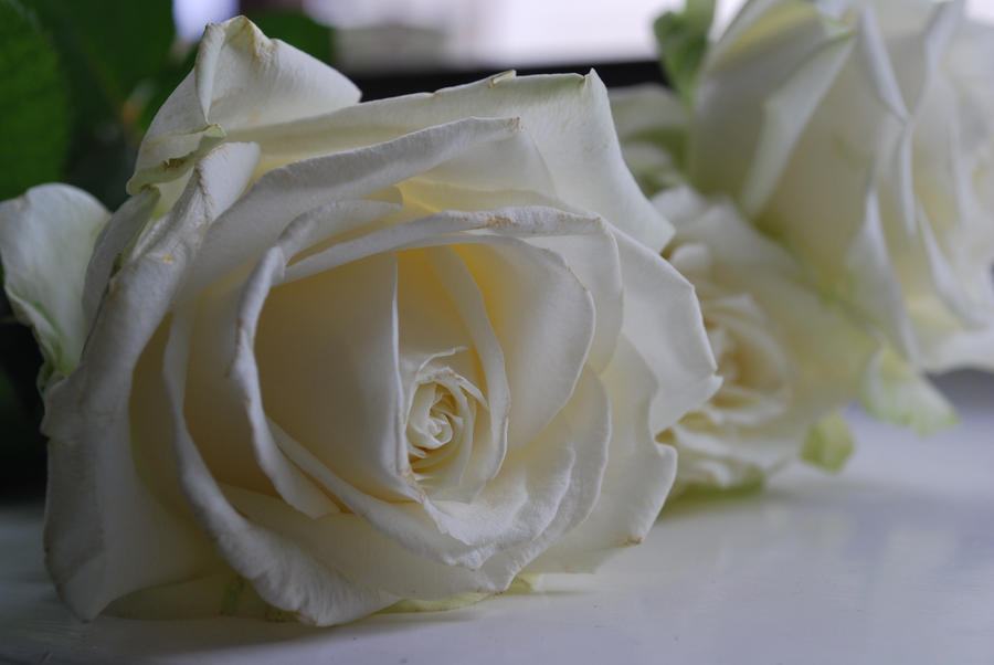 white rose by rybka91