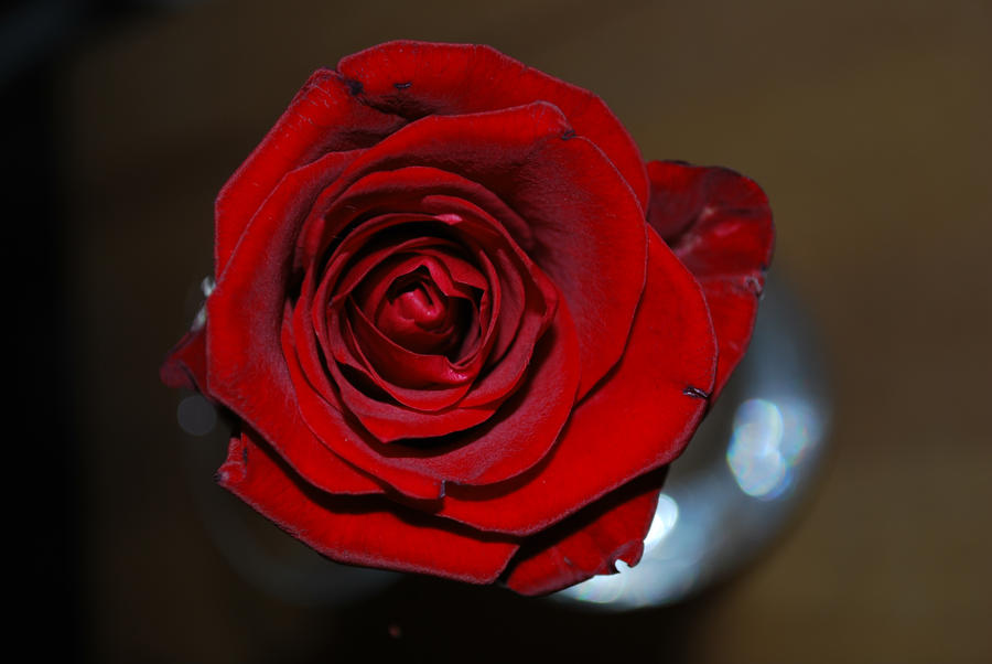 red rose by rybka91