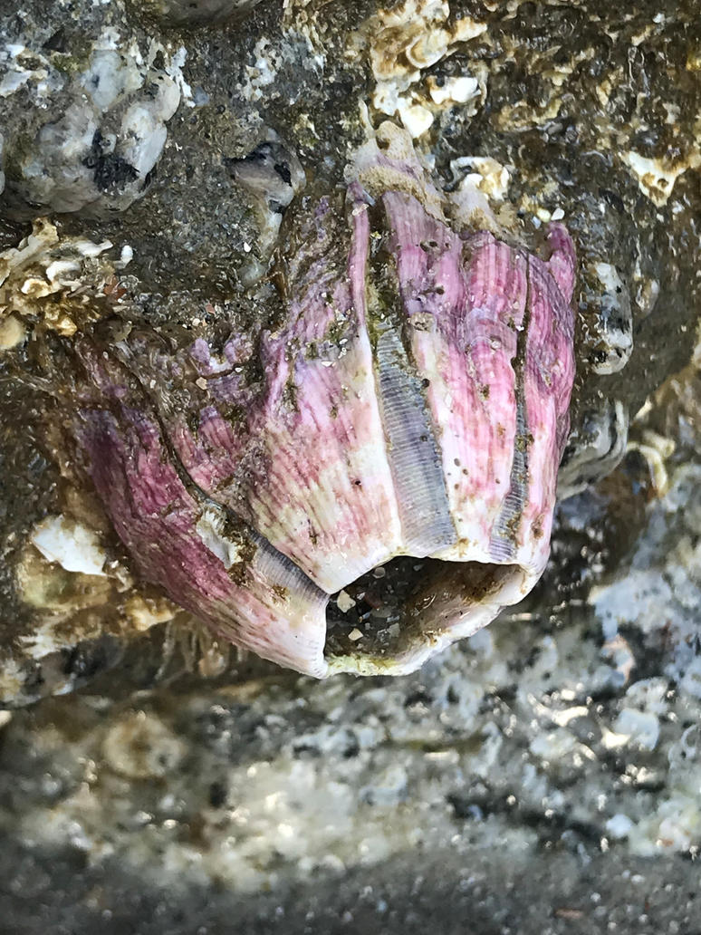 Purple Barnacle by Alex-the-therian