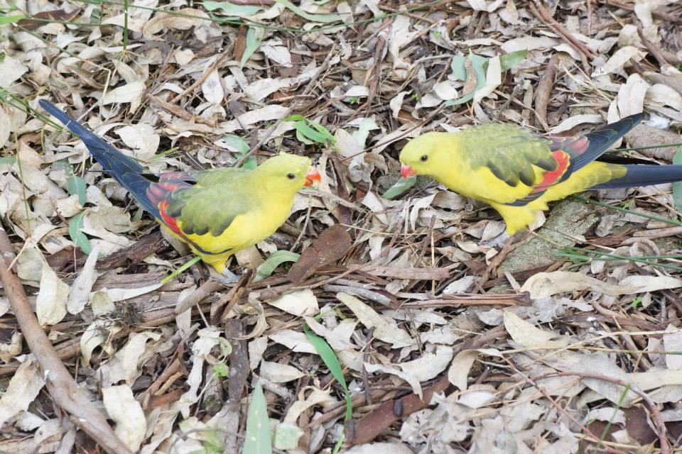 Lover Birds by TasmanianDevilzz