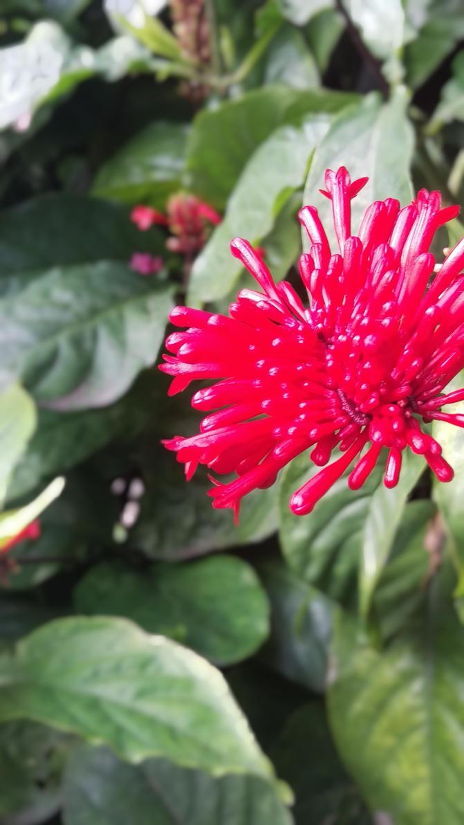 Red Flower by TasmanianDevilzz