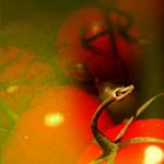 pomidor2 by alinamn