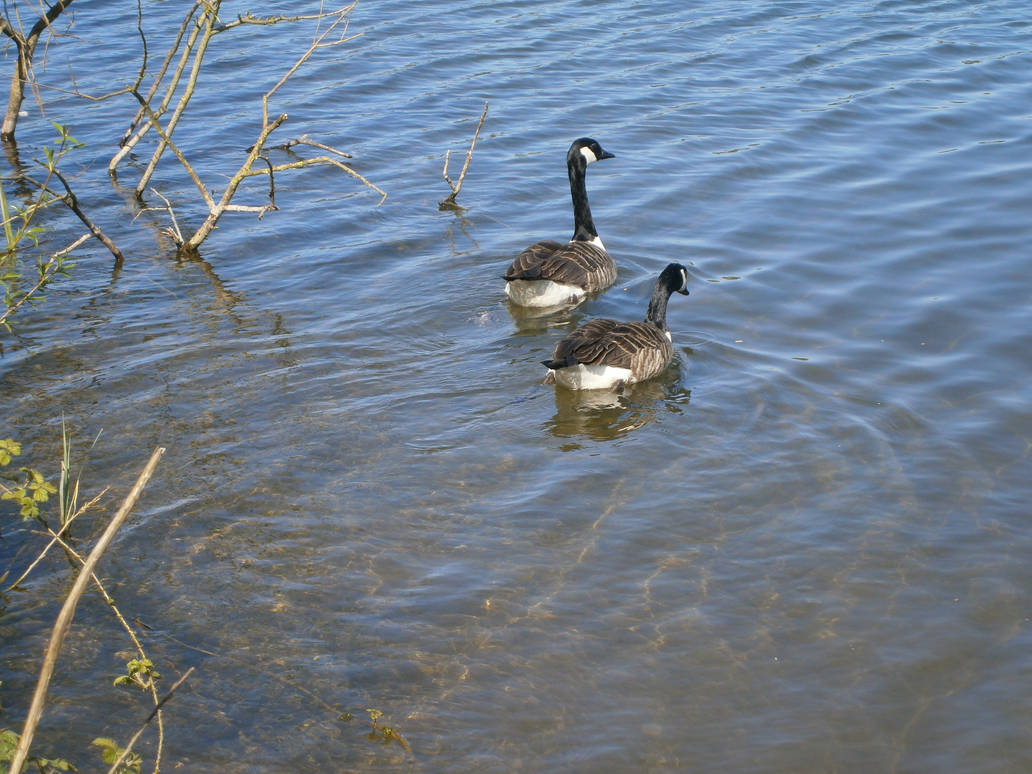 Hello Duckies