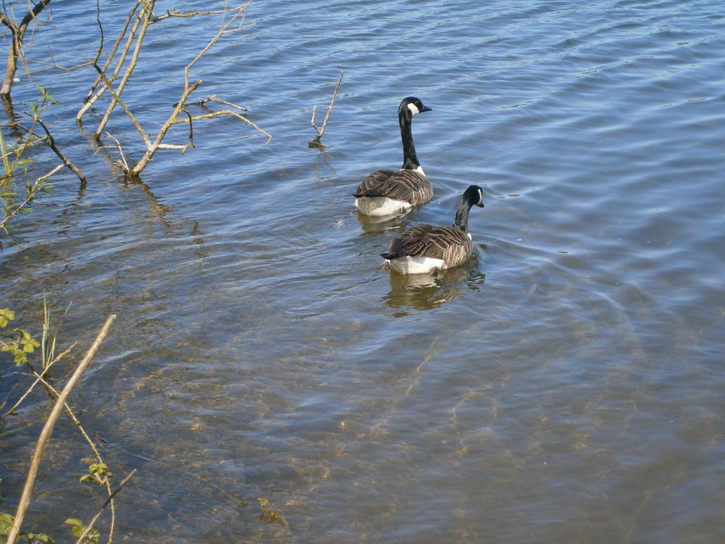 Hello Duckies by MEGAB00ST