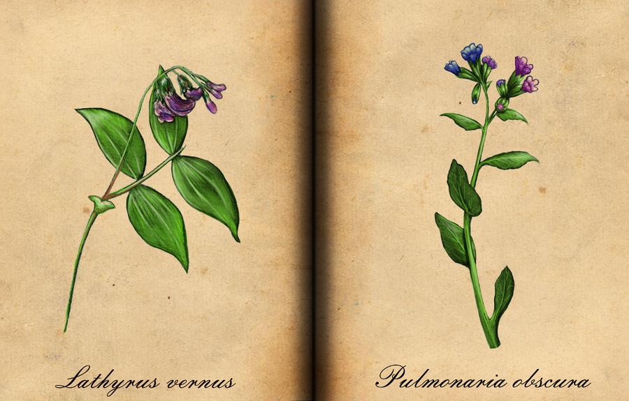 Lathyrus vernus, Pulmonaria obscura by AvleenVarAnahid