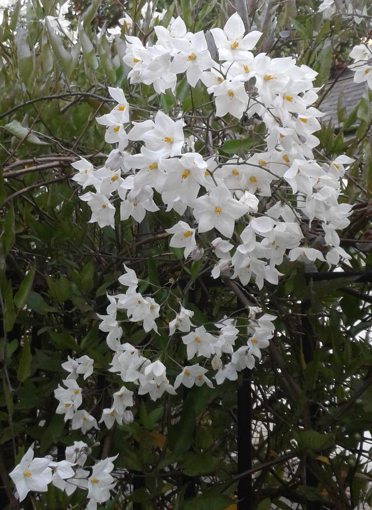 Little White Flowers 3 By Totallydeviantlisa On Deviantart