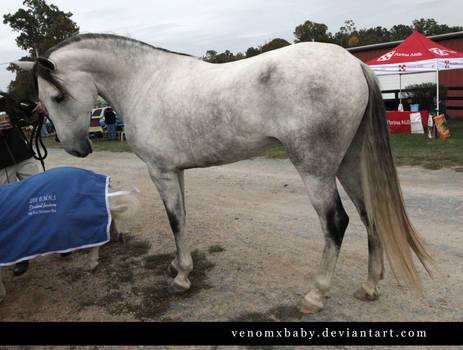 gray andalusian stallion 1