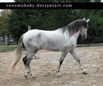 gray andalusian stallion 3
