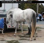 gray andalusian stallion 4