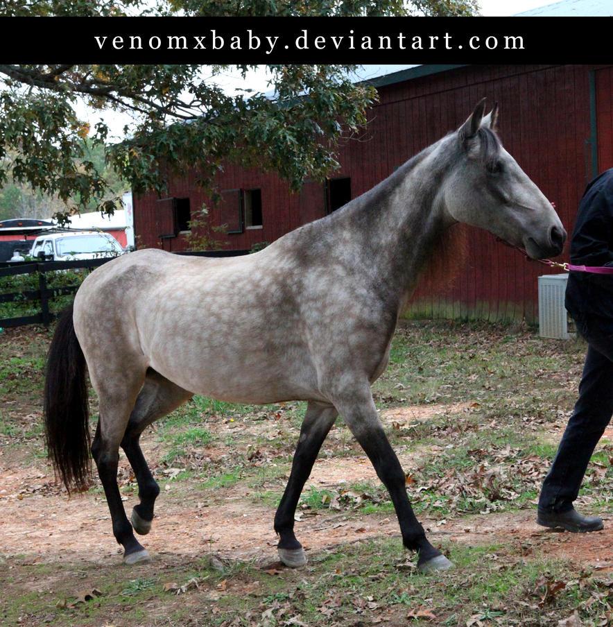 Buckskin paint trot by equustock on DeviantArt