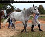 dapple gray arabian mare 2