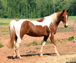 chestnut tobiano saddlebred 1 by venomxbaby