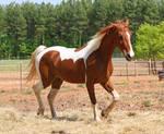 chestnut saddlebred 4