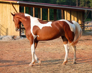 chestnut saddlebred 6 by venomxbaby