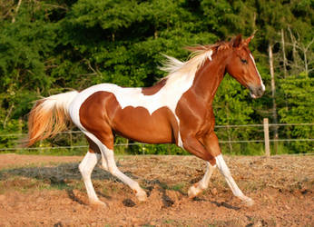 chestnut saddlebred 7 by venomxbaby