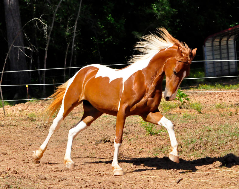Out in the WILD (horse Rp) Chestnut_saddlebred_8_by_venomxbaby
