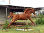 chestnut arabian jump