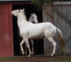 cremello stallion 1 by venomxbaby