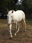 cremello stallion 4