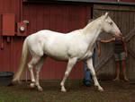 cremello stallion 7