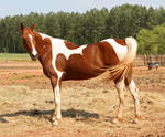 chestnut saddlebred 10