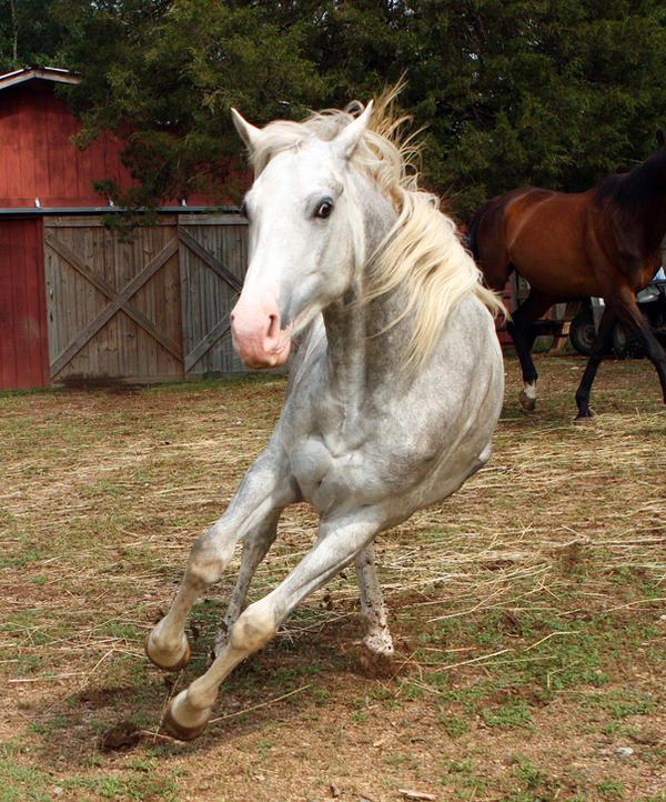 Dapple Gray Paint Horse