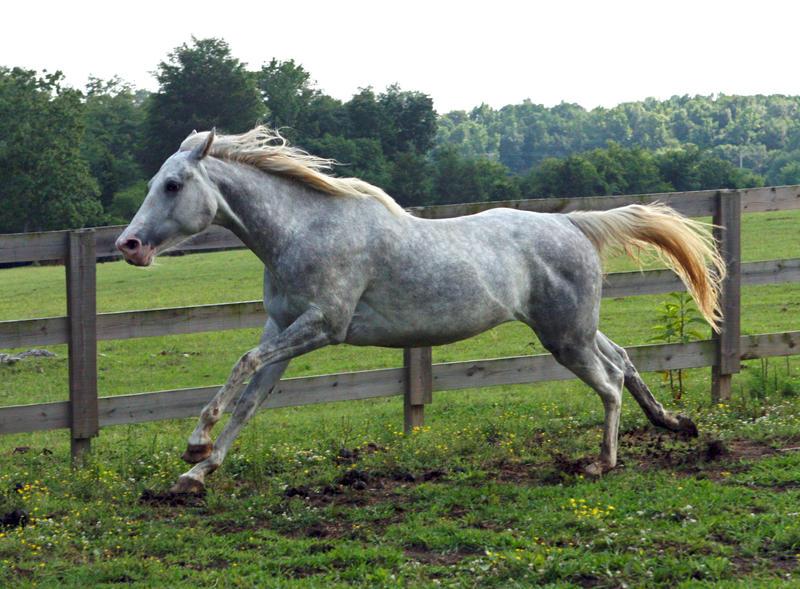 white quarter horse stallion