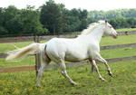 cremello stallion 8