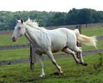cremello stallion 9