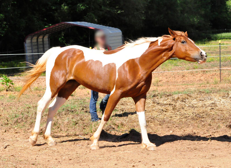 chestnut saddlebred 11 by venomxbaby