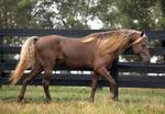 rocky mountain horse 1