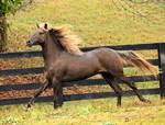 rocky mountain horse 4