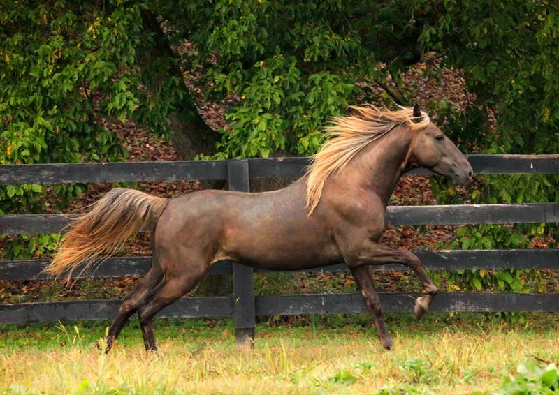 rocky mountain horse 6