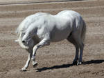 white andalusian 2