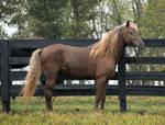 rocky mountain horse 7