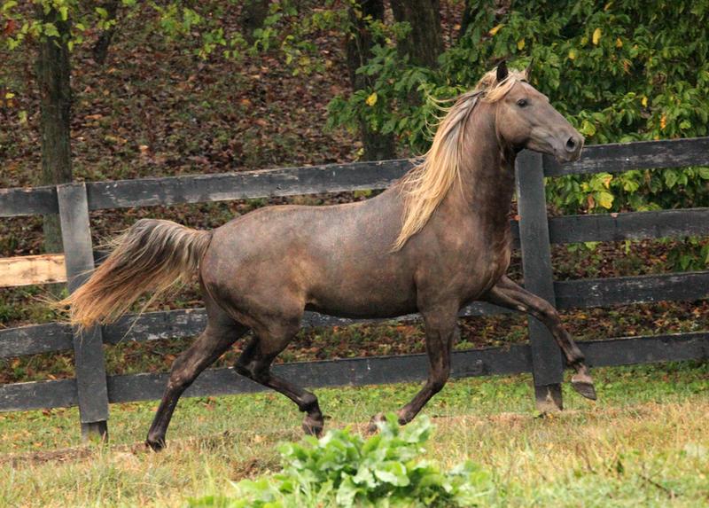 rocky mountain horse 9 by venomxbaby