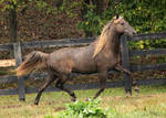 rocky mountain horse 9