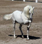 white andalusian 3