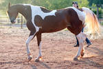 mad chestnut tobiano