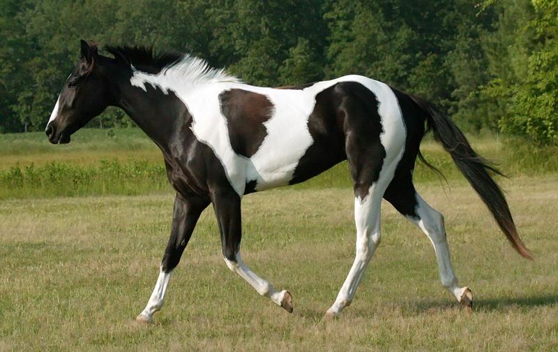 Black And White Tobiano Paint By Venomxbaby