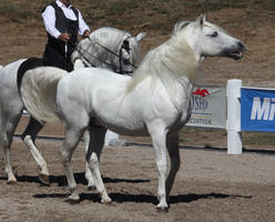 white andalusian 4 by venomxbaby